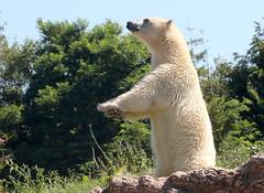 Tai Chi Master (Ger Bosma) Tags: 2mg188613 ijsbeer ursusmaritimus polarbear eisbär polarbär oursblanc ourspolaire osopolar osoblanco orsopolare taichi moves bear pose standing hindlegs upright