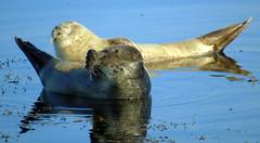 Seals (stuartcroy) Tags: seal sealife scotland scenery sea sony still orkney island reflection