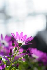 20170128 Denpark 4 (BONGURI) Tags: 安城市 愛知県 日本 jp purple パープル 紫 紫色 flower 花 園芸種 園芸植物 denpark デンパーク anjo 安城 aichi 愛知 nikon d3s afsnikkor85mmf18g