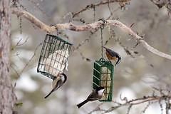 Daks, NY: Black-capped Chickadees & Red-breasted Nuthatch at Feeders (donna lynn) Tags: nys newyork adirondacks dacks nikon d500 birds birding february winter 2017 feeders sabbitisroad redbreastednuthatch sittacanadensis