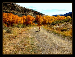 Max Leads the Way ~ Follow His Adventure! (mountainbeliever) Tags: autumn trees pets max mountains dogs animals october scenery colorado bigdogs play trails run riverbed rockymountains paths picnik fourcorners sunnydays ontherun durangocolorado reddogs dogsontherun dogsoutdoors leadingtheway dogsinnature dogsinthesun behindthemall inthelead knowstheway