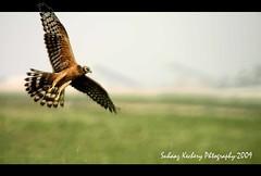 Montagu's Harrier (suhaaz Kechery) Tags: bird birding birdofprey doha qatar montagusharrier sigma170500 canon450d suhaaz