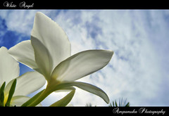 White Angel /  (AmpamukA) Tags: sky white flower angel soft tranlucent        ampamuka tripleniceshot
