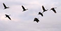 Sandhills Flying (rlong747) Tags: birds indiana sandhillcranes robertlong jasperpulaskifishandwildlifearea rlong747