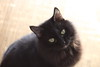 ting-a-ling (rachael8amen) Tags: black cat longhair tingaling