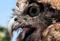 Day 141 (myopixia) Tags: zoo angus owl taronga tarongazoo rufa rufousowl ninox myopixia