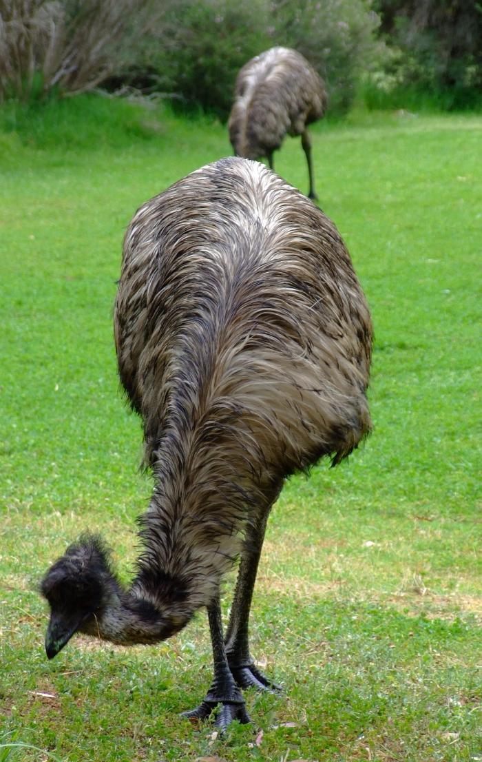 wild emu 01