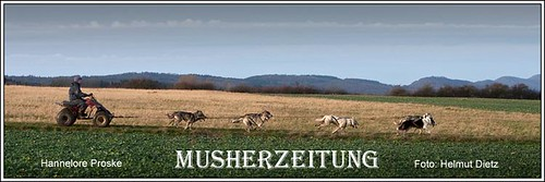 Schlittenhunde - Training - 8 Huskies