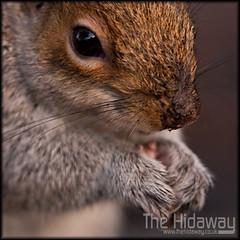 Dirty nose (Simon Bone Photography) Tags: macro nature closeup cornwall eating wildlife nut greysquirrel dirtynose canon30d sigma105mm wwwthehidawaycouk tehidycountrypark