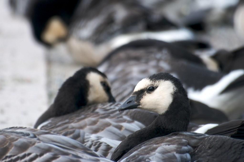 duck, duck, goose!