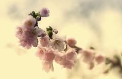winter sakura (bunbunlife) Tags: november autumn winter tree fall oregon portland cherry branch blossom sakura