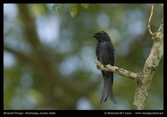 Bronzed Drongo (M V Shreeram) Tags: india bird nature canon wildlife ave assam avifauna kaziranga dicrurusaeneus bronzeddrongo dicruridae 300mmf4is 40d