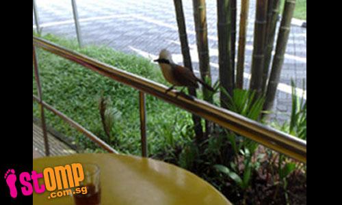 Rare bird comes to Bukit Batok kopitiam