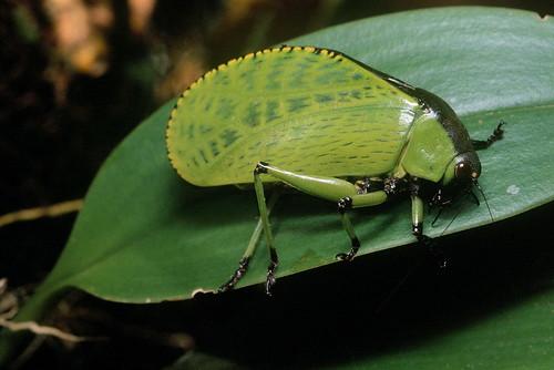 Dysmorpha obesa Brunner von Wattenwyl, 1878 (Tettigoniidae, Phaneropterinae)