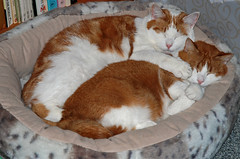 Spooning cats. (Athanassia) Tags: sleeping red cats white classic katten brothers tabby rood wit slapen blotched htk agouti broers ticked cyper