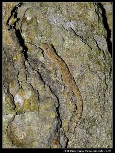 Hekou's Gecko (Gekko hokouensis) - 鉛山壁虎
