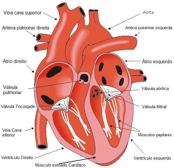 Esquema do coração humano