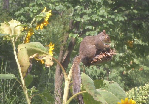 squirrel and sunflowers