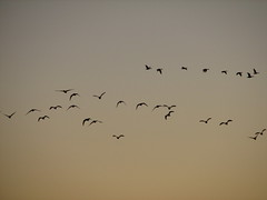 IMG_3945 (rabbit-rose) Tags: ducks migration snowgeese sacramentowildliferefuge