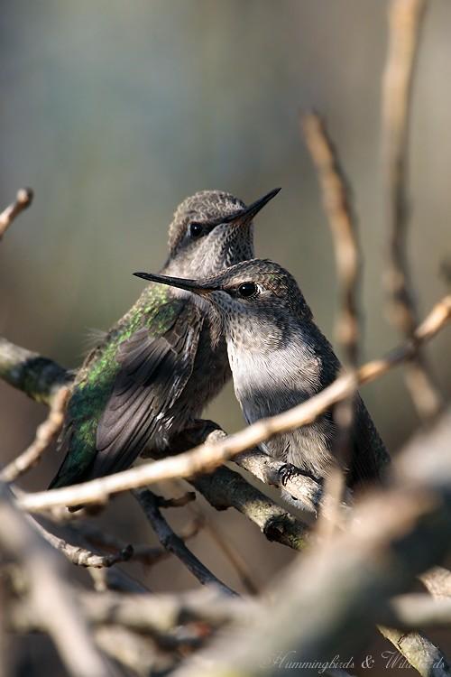 Anna's Hummingbird fledgling 091-7