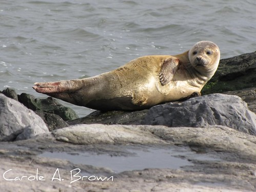 Eastern Harbor Seal