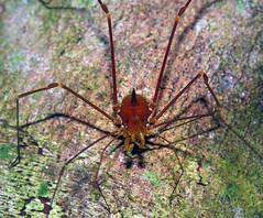 One-spined stygnid harvestman (Eutimesius simoni, Stygnidae) (Arthur Anker) Tags: macro nature ecuador amazon rainforest arachnids arachnida harvestman harvestmen opiliones opilionid yasuni stygnidae