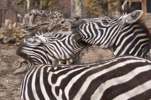 Zebras Playing 2