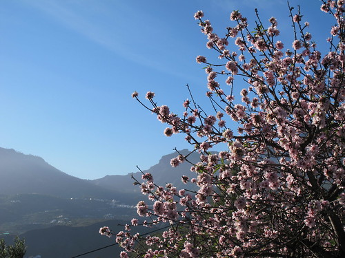 Mandeltræerne blomstrer