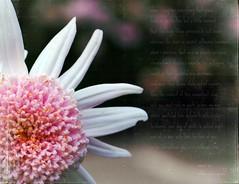 when i consider... (*erinnoel*) Tags: pink flower macro bokeh williamshakepeare texturebylesbrumes inspiredbyshakespeare textwrittenonpicnik sonnetxv