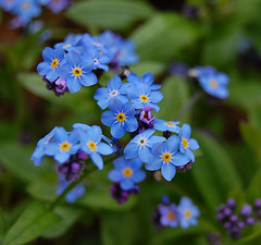 Forget Me Not.....   (I Never Would!!...) (Wire_cat) Tags: flowers blue plant memories forgetmenot remembrance supershot platinumphoto wirecat