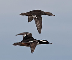 Hooded Merganser Male And Female in Flight Huntington Beach South Carolina (kevansunderland) Tags: duck ngc southcarolina migration waterfowl birdinflight merganser hoodedmerganser birdphotography huntingtonbeachstatepark migratorybird maleandfemalehoodedmerganser