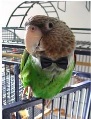 Red Carpet Frank! (violetpie) Tags: pet bird night frank formal parrot cape awards academy oscars poicephalus