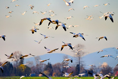 Snow Geese (jay2theb2001) Tags: birds snowgeese
