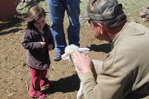 Visiting the Sheep with Grandpa