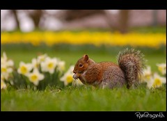 Squirrel ~ Published in Nikon's In- Frame. March, 2010. (FLASH MEDIA CREATIONS) Tags: pictures nottingham uk flowers wild england india flower nature birds animals advertising photography amazing interesting nikon squirrel published pics fashionphotography wildlife creative insects lakeside daffodil ram tamilnadu nottinghamshire coimbatore designing universityofnottingham professionalphotography 200mm eastmidlands foodphotography cbe productphotography prasanth fmc photoofthemonth industrialphotography d40 inframe nottinghamuniversity highfieldspark advertisingphotography ramprasanth jewelleryphotography photographycompany 100commentgroup nottinghamwildlife designinglogo inframephotoofthemonth flashmediacreations productphotographyincoimbatore industrialphotographyincoimbatore professionalphotographysolutions photographyprintinglogo coimbatoreweb ramprasanthphotography