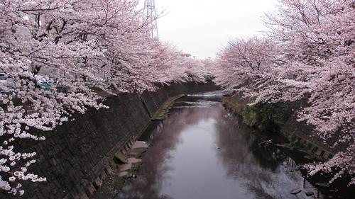 2010年 桜 恩田川 町田市
