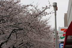 たまプラーザの桜(Cherry Blossom at Tama-plaza, Japan, 2010)