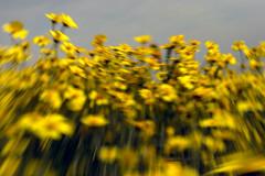 California Wildflowers Carrizo Plain (PhotoTrips_ArtApril) Tags: california camera flowers yellow canon wildflowers plain photographing carrizo yourphototravelguide