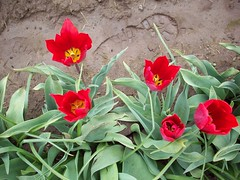 100_1187 (Smith's are Ore-Gone!) Tags: festival tulip