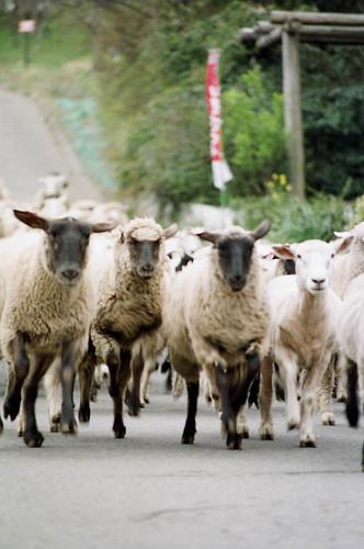 羊の大行進3