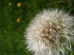 Make a wish! (J. Sibiga Photography) Tags: flowers spring dandelion seeds naturelovers macrolicious