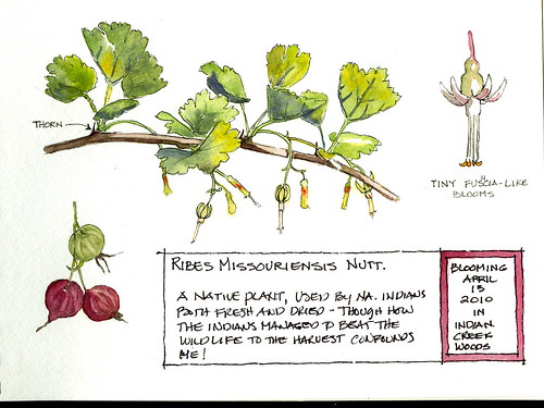 Ribes Missouriensis - goos Berries