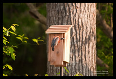 2010 NC Backyard Birds (Derrick Shultz) Tags: birds flickr wildlife 2010 easternbluebird d90 nikon80400mmf4556