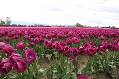 Field of Purple Tulips (J.Sod) Tags: washington tulips farm washingtonstate skagitvalley skagitvalleytulipfestival skagitcounty tulipfields seaofpurple purlpetulips