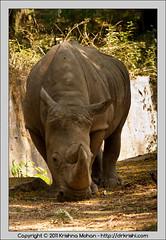 White Rhinoceros at Mysore  Zoo (drkrishi) Tags: india zoo asia karnataka mysore mammalia whiterhinoceros rhinocerotidae chordata ceratotheriumsimum perissodactyla mysorezoo ceratotherium squarelippedrhinoceros srichamarajendrazoologicalgardens drkrishi drkrishicom