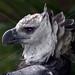 BIRD HARPY EAGLE SURINAM AMAZONE SOUTH-AMERICA