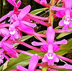 Epidendrum pfavii