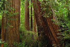 Redwoods, Muir Woods (diana_robinson) Tags: diana muirwoods redwoods robinson nikond700