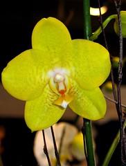 """How wonderful yellow is.  It stands for the sun."" -Vincent Van Gogh (floridagull) Tags: orchid sunshine yellow canon littlerock warmth cheer fabulous vangogh botanicagardens canonpowershota610 chrisolsen cmongethappy mondaygreeting floridagull 1205amandraining"