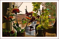 Pas un temps à mettre un Chat dehors!!! (Joélisa) Tags: flowers fleurs cat chat pluie gato fenêtre cutup intérieur vitre catnipaddicts larchedejoé